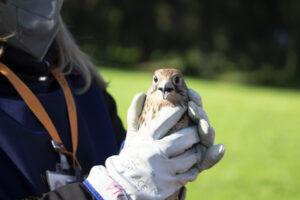 Liberati un falco e un gheppio nel bosco di Capodimonte