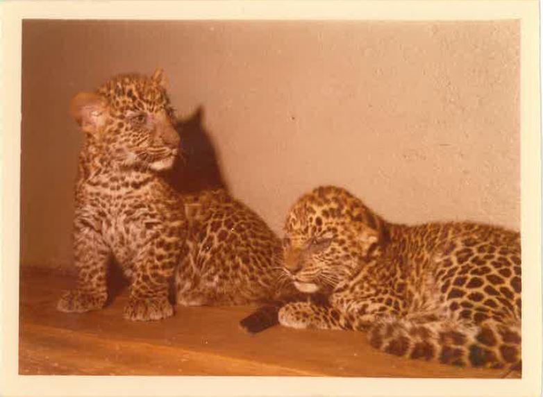 I giaguari tornano nello zoo di Napoli